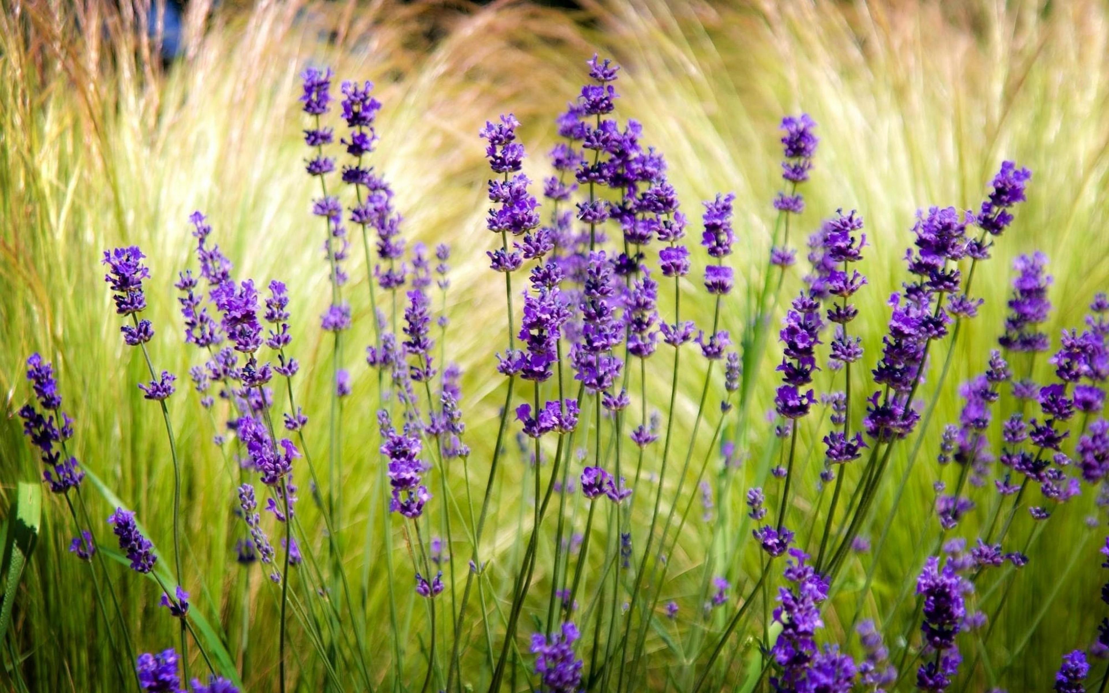 lavender_field_blur_sharpen_52704_3840x2400